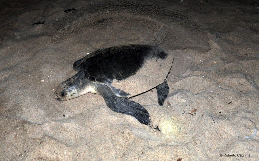 Cosa vedere in Ghana Togo e Benin tartarughe sulla spiaggia di notte