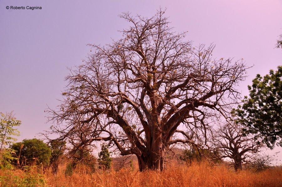 Cosa vedere in Ghana Togo e Benin i grandi baobab