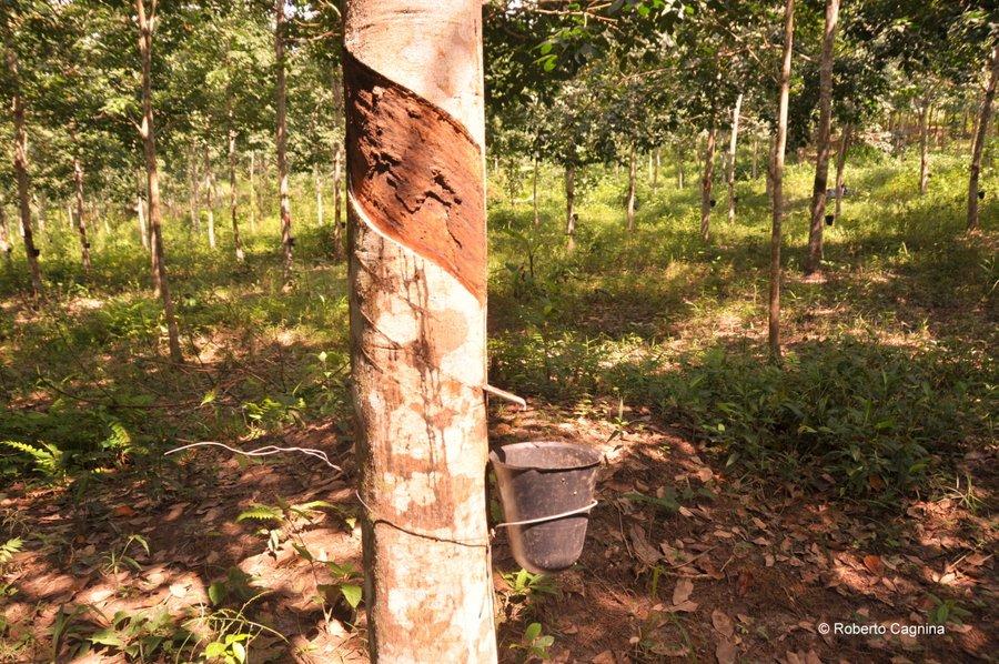 Cosa vedere in Ghana Togo e Benin albero della gomma