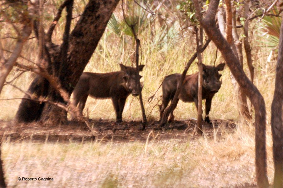 Cosa vedere in Ghana Togo e Benin safari parchi animali facoceri