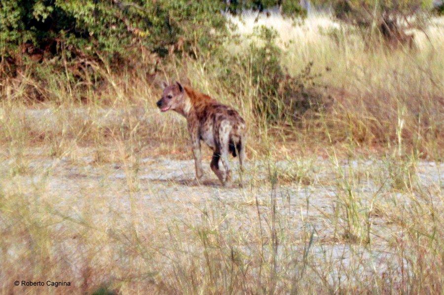 Cosa vedere in Ghana Togo e Benin safari parchi animali iene