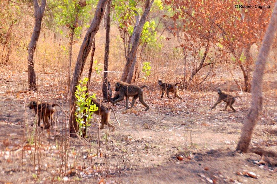 Cosa vedere in Ghana Togo e Benin safari babbuini