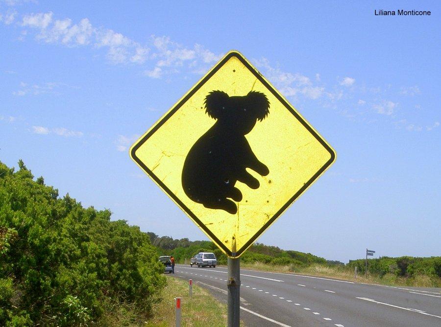 viaggio australia koala animali