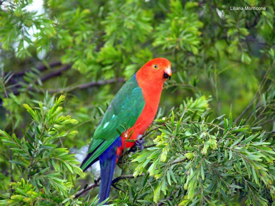 viaggio australia pappagallo animali