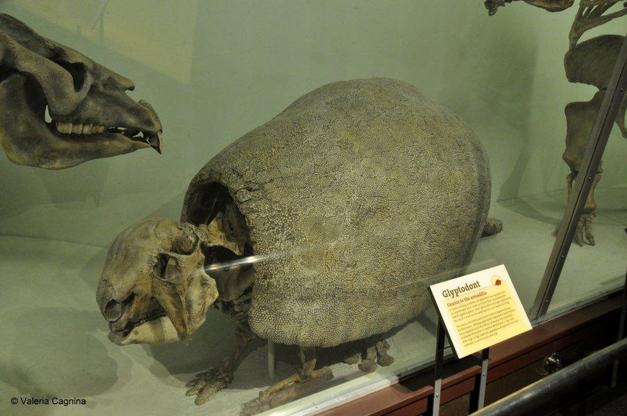 cosa vedere a Boston Harvard museo di storia naturale fossili