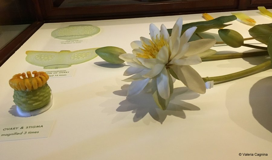 cosa vedere a Boston Harvard museo di storia naturale fiori di vetro
