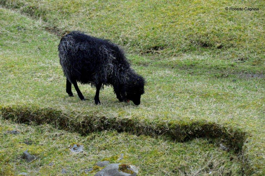 paradiso alle isole faroe pecore